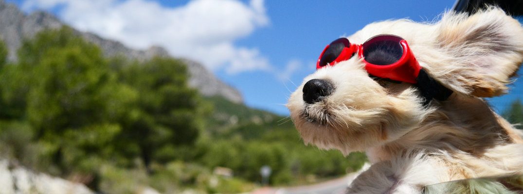 a dog with goggles peeking out a moving car window under the bright sun