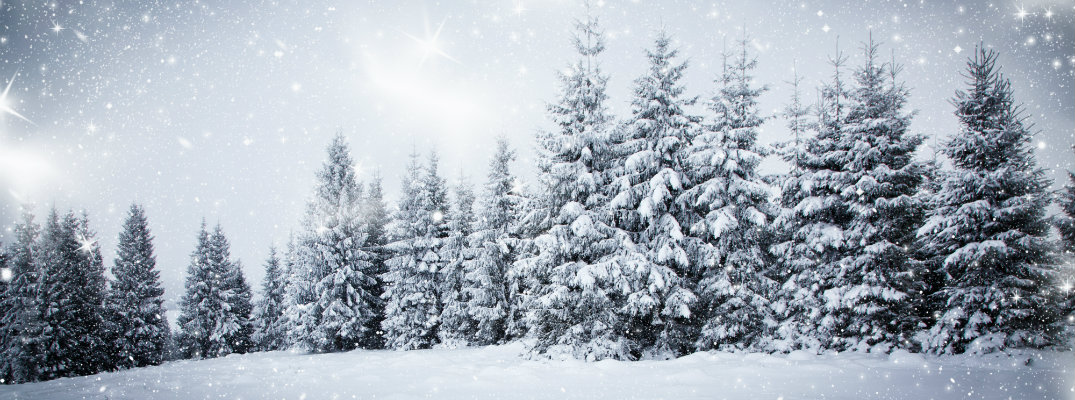 A forest of Christmas trees covered with snow